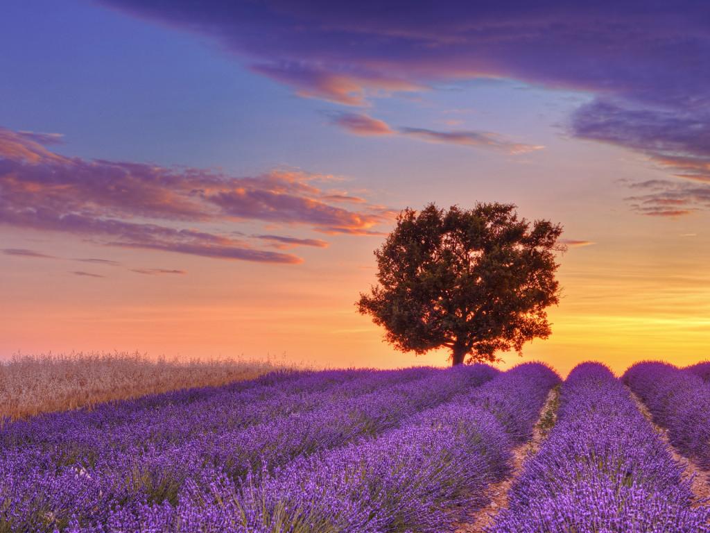 lavender fileds france